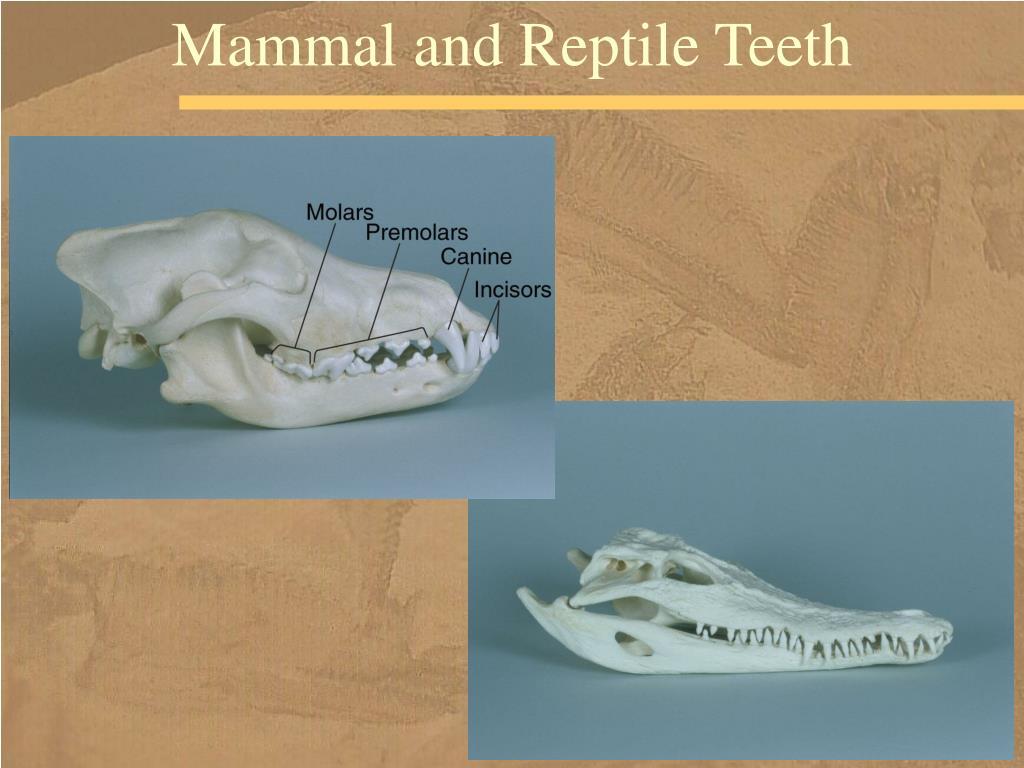 Mammal and Reptile Teeth