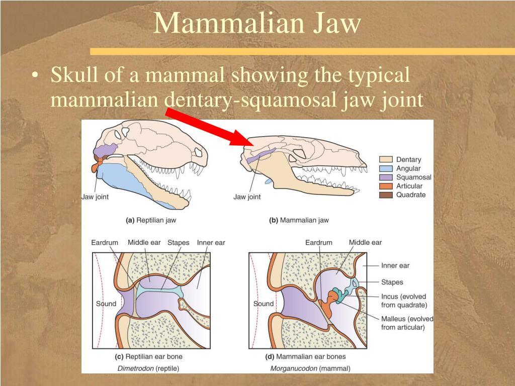 Mammalian Jaw
