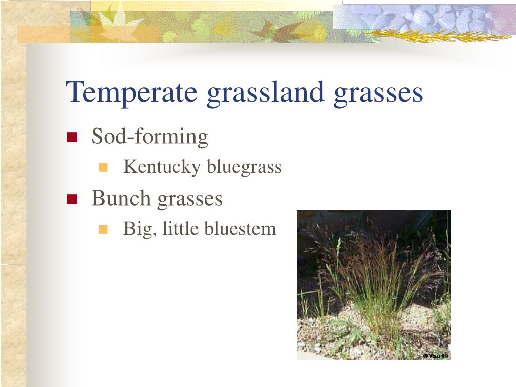 Temperate grassland grasses