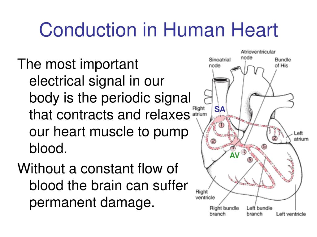 Conduction in Human Heart