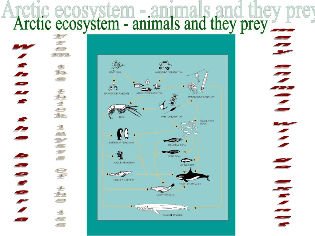 Arctic ecosystem - animals and they prey