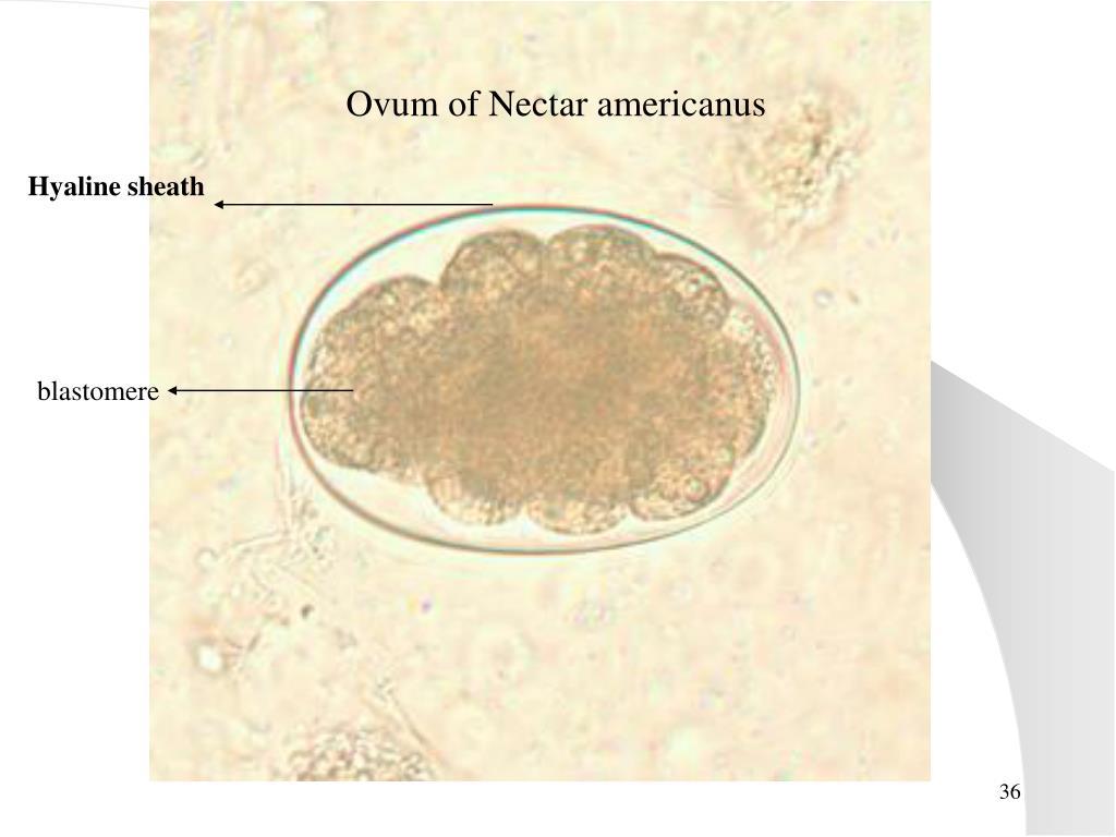 Ovum of Nectar americanus