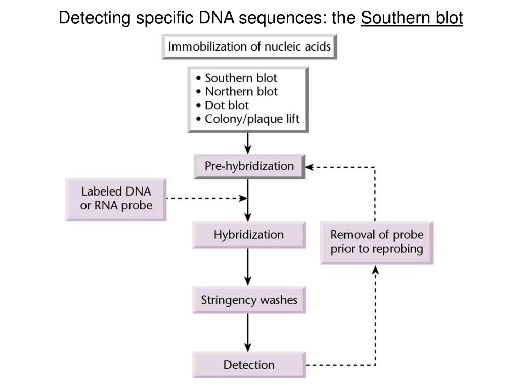 Detecting specific DNA sequences: the