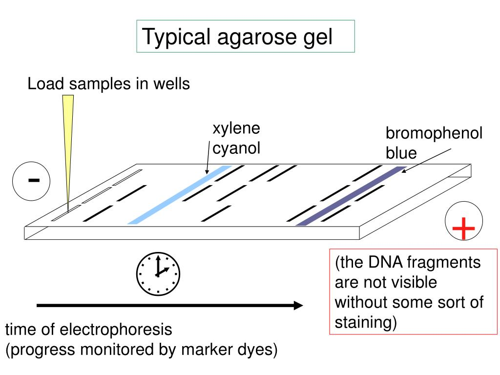 Typical agarose gel