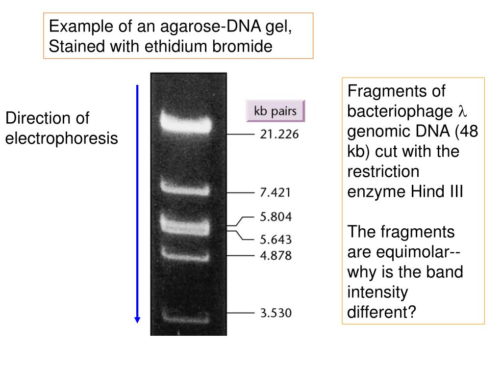 Example of an agarose-DNA gel,
