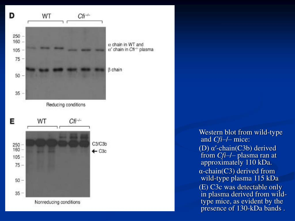 Western blot from wild-type and