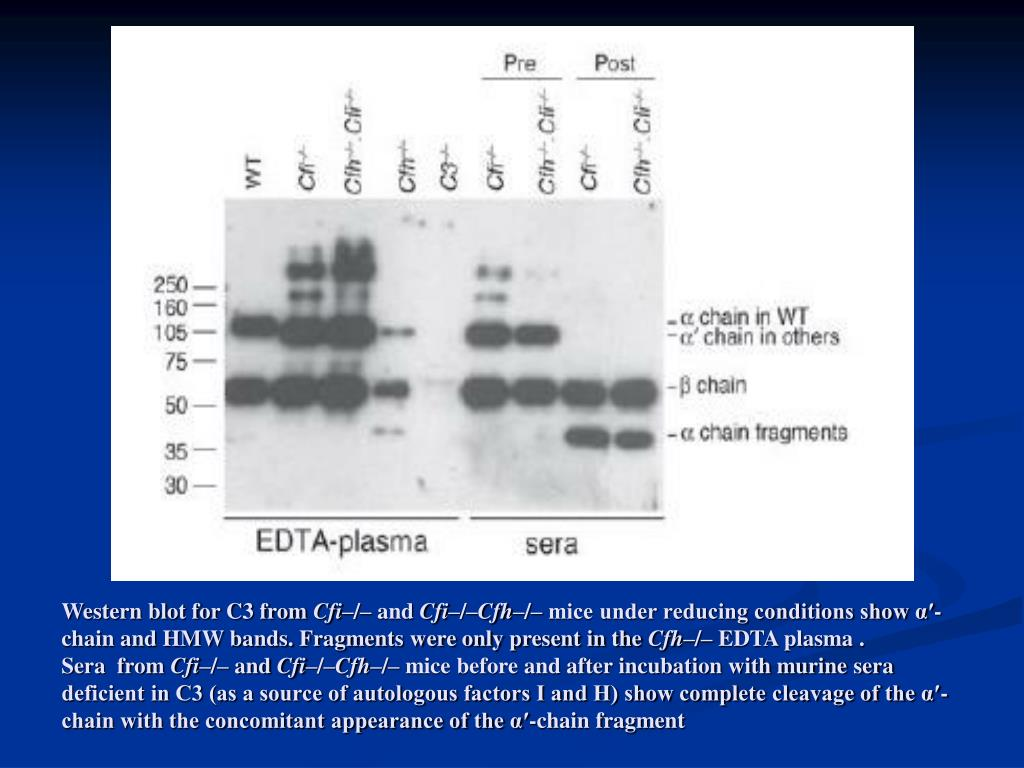 Western blot for C3 from