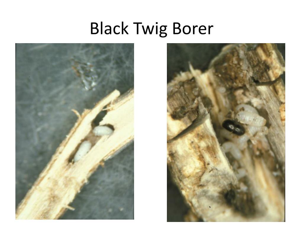 Black Twig Borer
