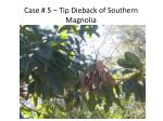 case 5 tip dieback of southern magnolia
