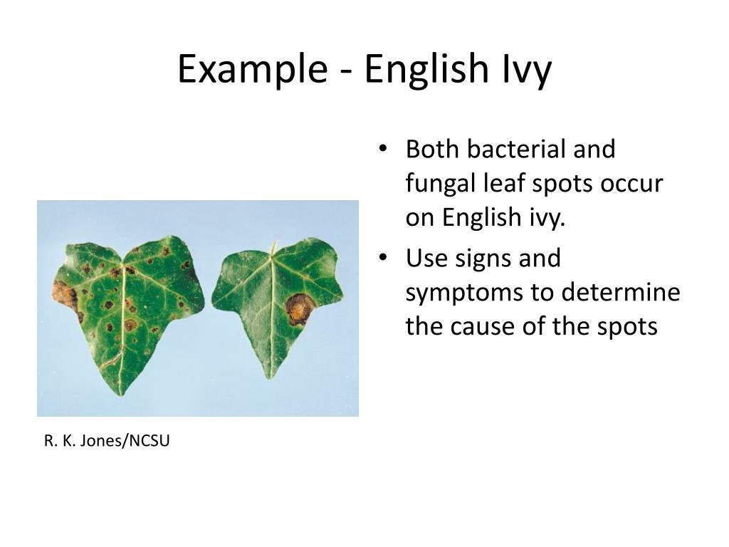 Example - English Ivy