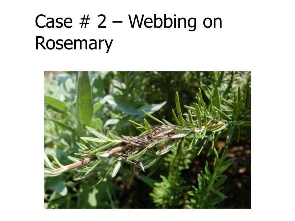 Case # 2 – Webbing on Rosemary