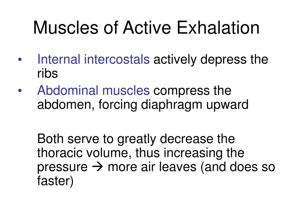 Muscles of Active Exhalation