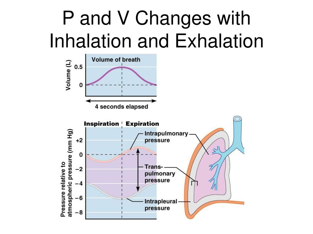 P and V Changes with Inhalation and Exhalation
