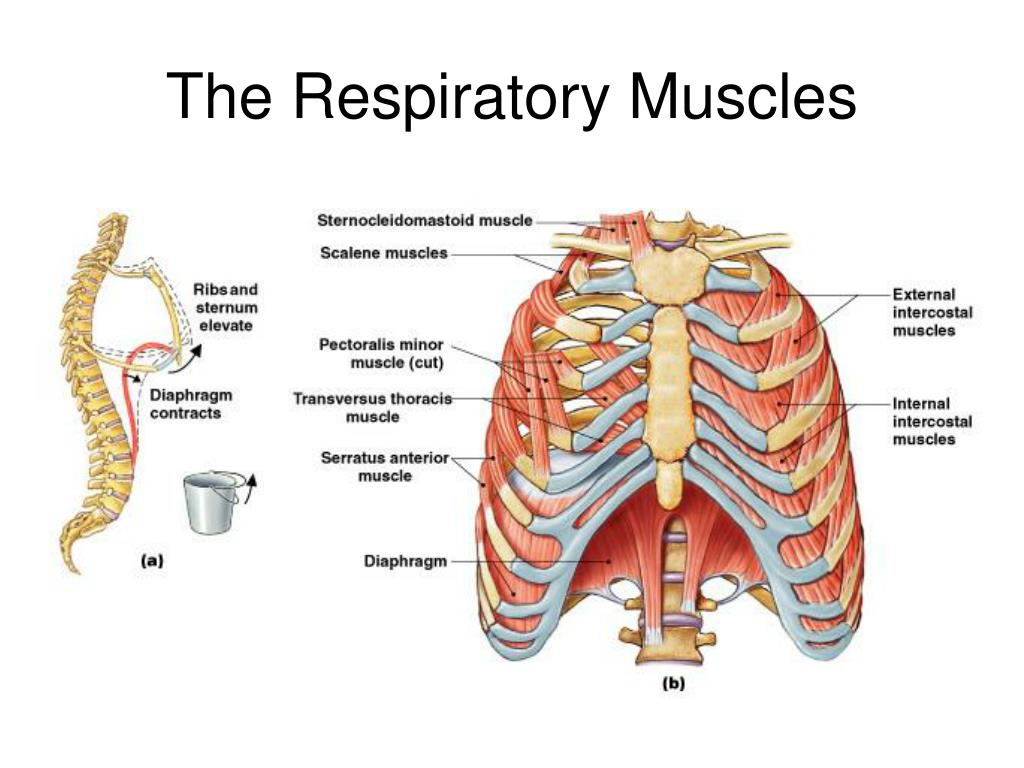The Respiratory Muscles
