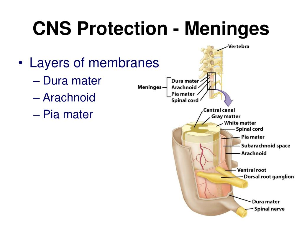 CNS Protection - Meninges