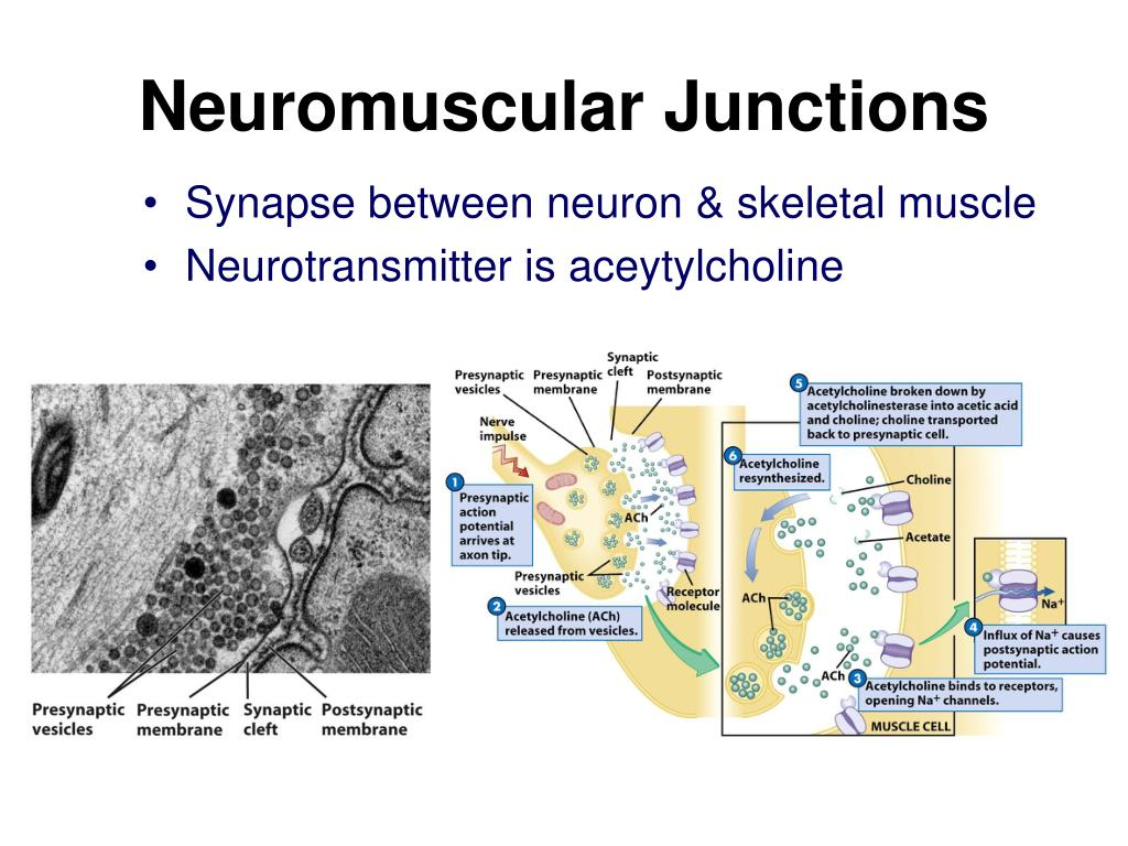 Neuromuscular Junctions