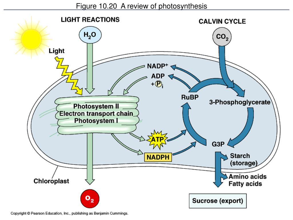 Figure 10.20  A review of photosynthesis