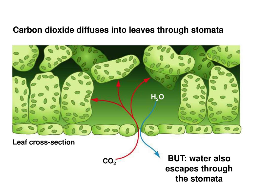 Carbon dioxide diffuses into leaves through stomata