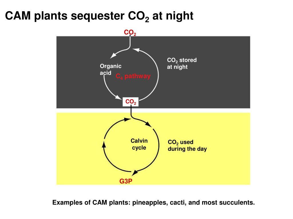 CAM plants sequester CO