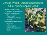 jimson weed datura stramonium a k a spiney apple seed