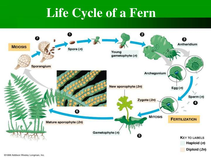 Life Cycle of a Fern