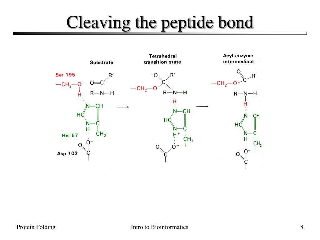 Cleaving the peptide bond