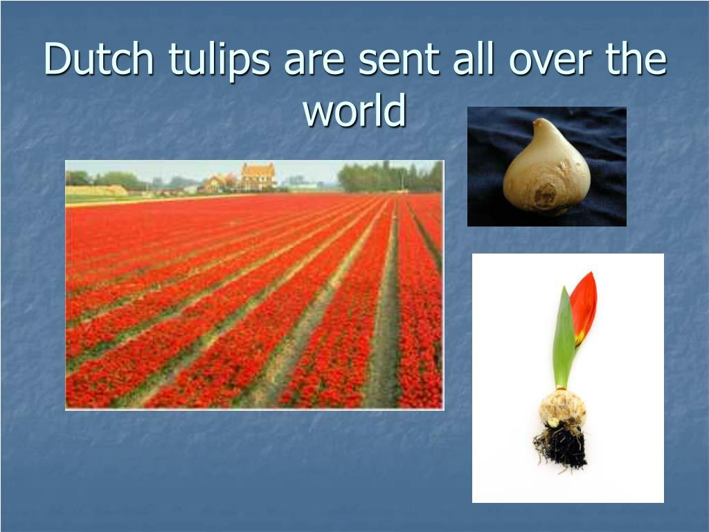 Dutch tulips are sent all over the world