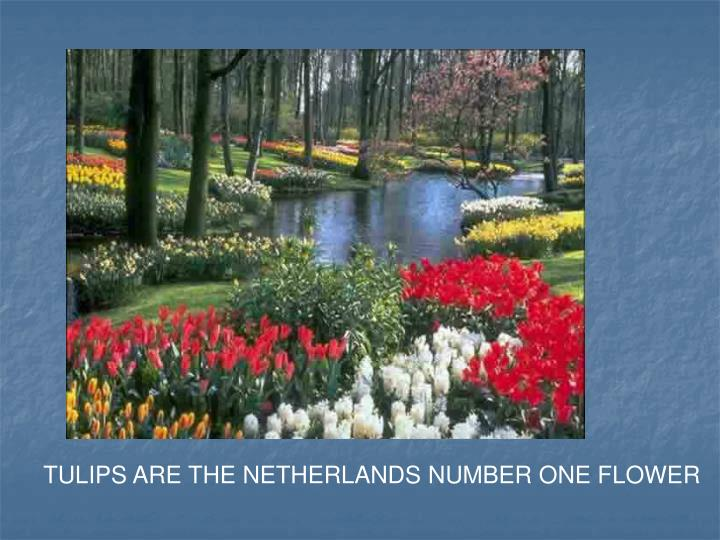 TULIPS ARE THE NETHERLANDS NUMBER ONE FLOWER