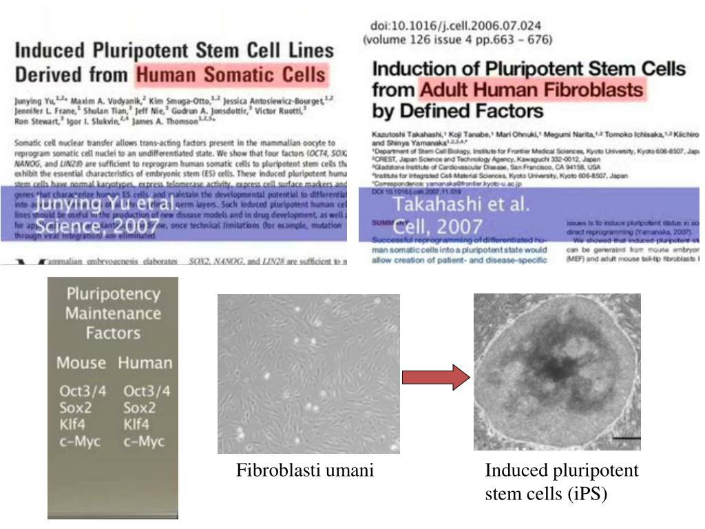 Fibroblasti umani