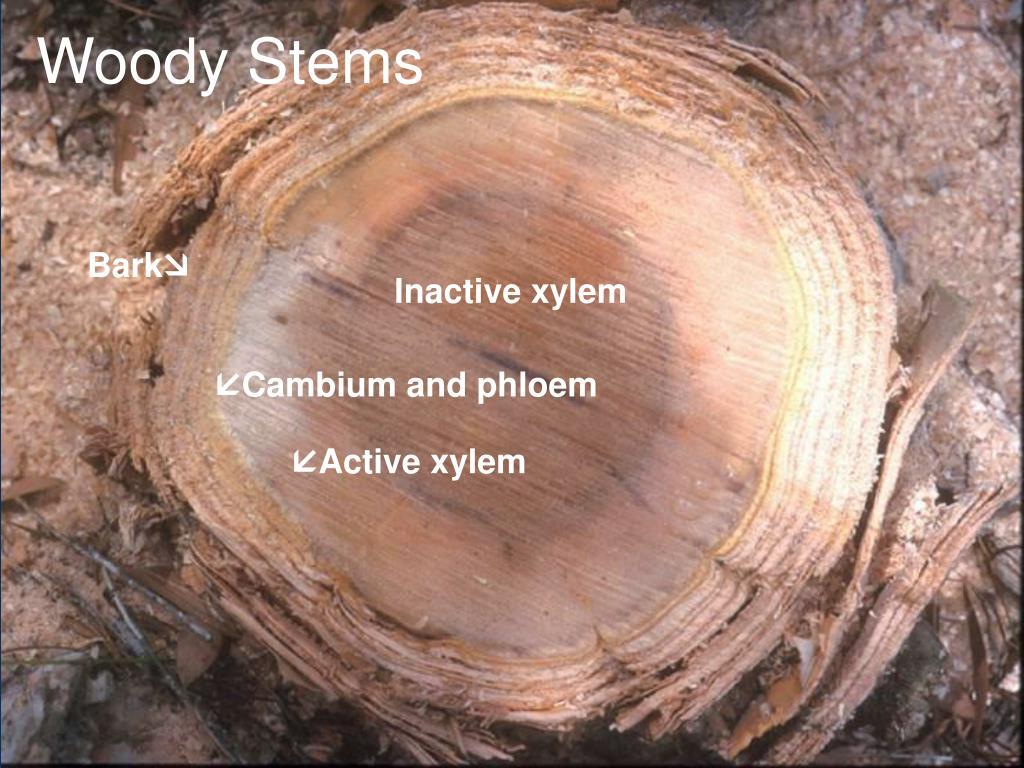 Woody Stems