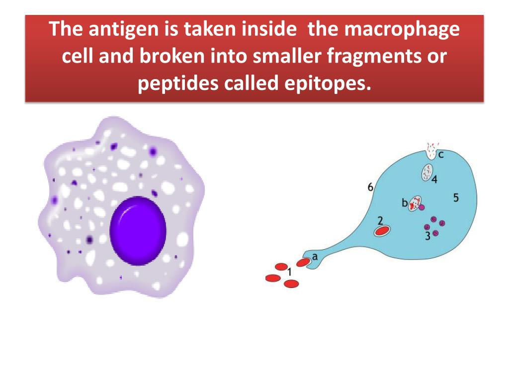 The antigen is taken inside  the macrophage cell and broken into smaller fragments or peptides called epitopes.