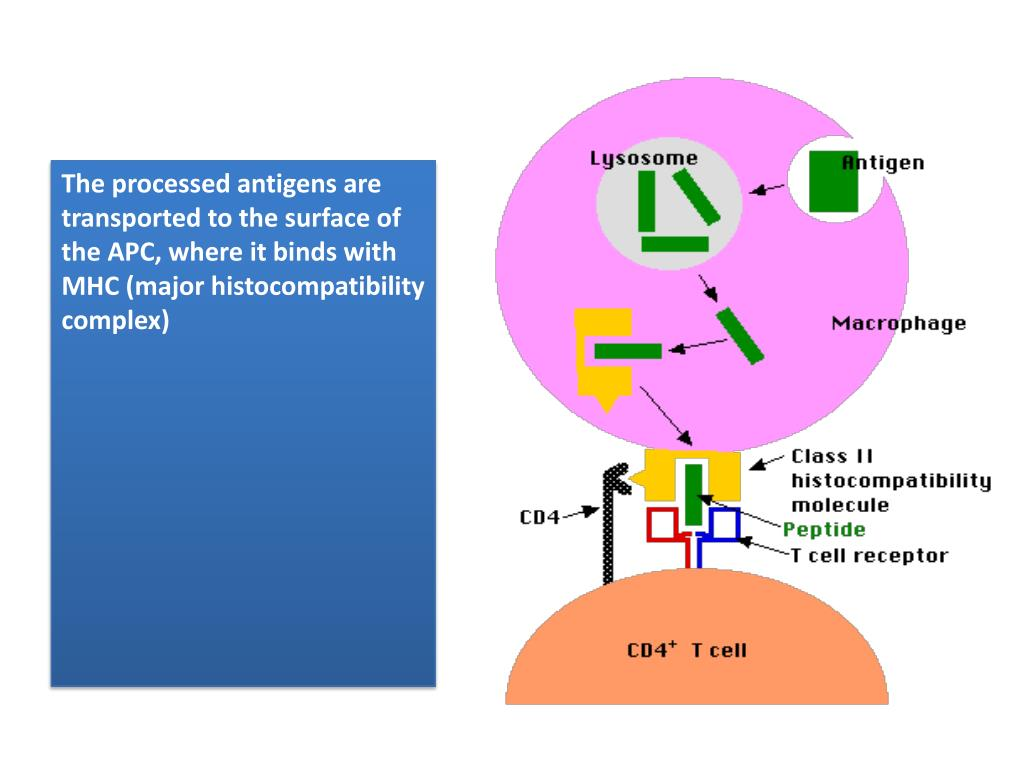 The processed antigens are transported to the surface of the APC, where it binds with MHC (major histocompatibility complex)
