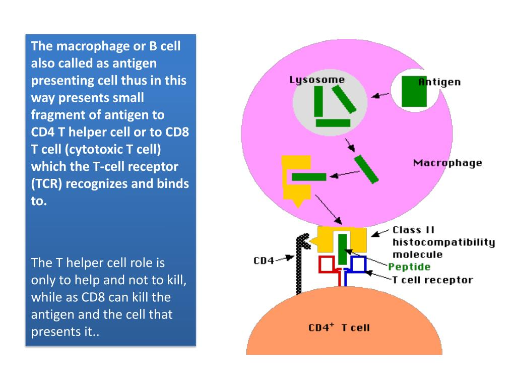 The macrophage or B cell also called as antigen presenting cell thus in this way presents small fragment of antigen to CD4 T helper cell or to CD8 T cell (cytotoxic T cell) which the T-cell receptor (TCR) recognizes and binds to.