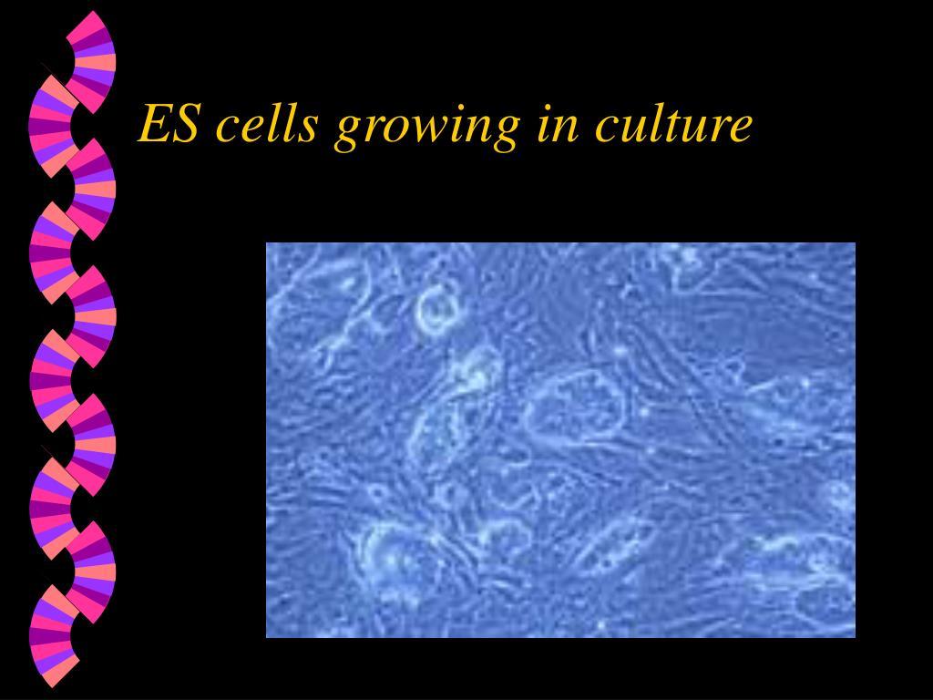 ES cells growing in culture