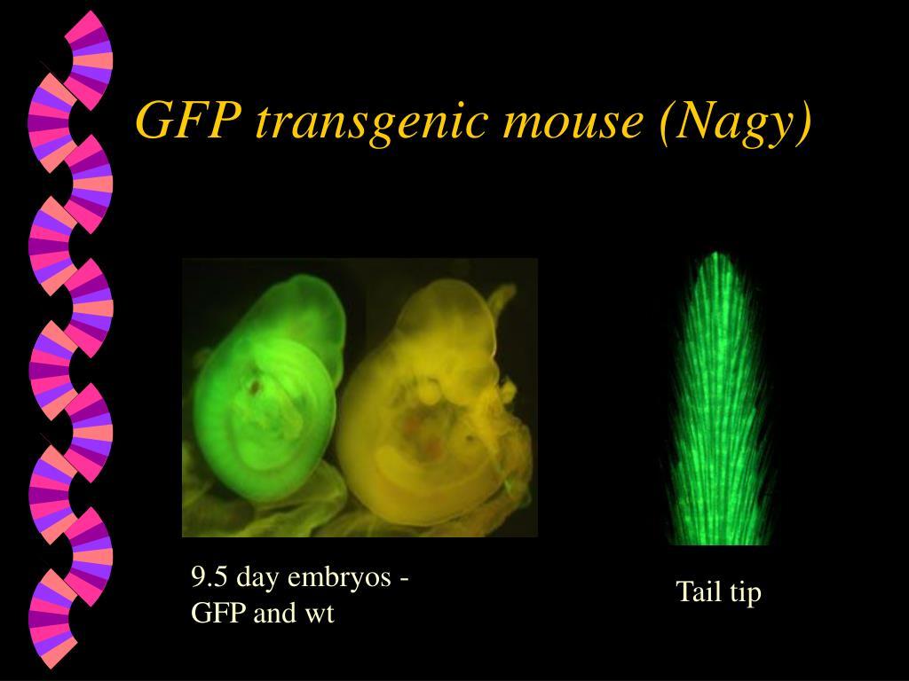 GFP transgenic mouse (Nagy)