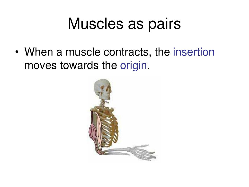 Muscles as pairs