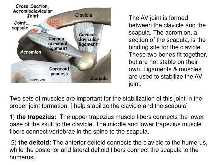 The AV joint is formed between the clavicle and the scapula. The acromion, a section of the scapula, is the binding site for the clavicle. These two bones fit together, but are not stable on their own. Ligaments & muscles are used to stabilize the AV joint.