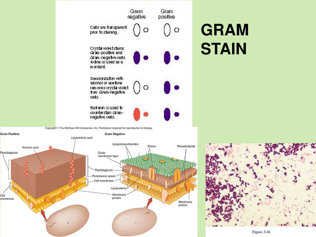 gram negative unknown lab report for enterobacter aerogenes Enterobacter aerogenes- is a gram negative,  essay on escherichia coli and gram stain test  unknown lab report essay.
