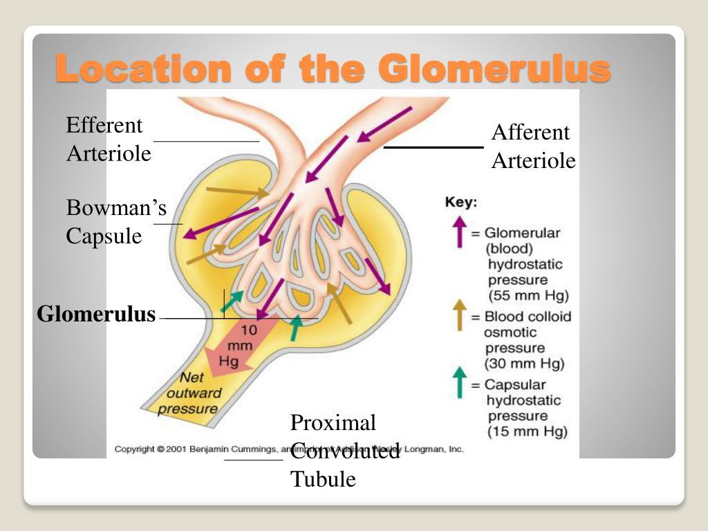 Efferent Arteriole
