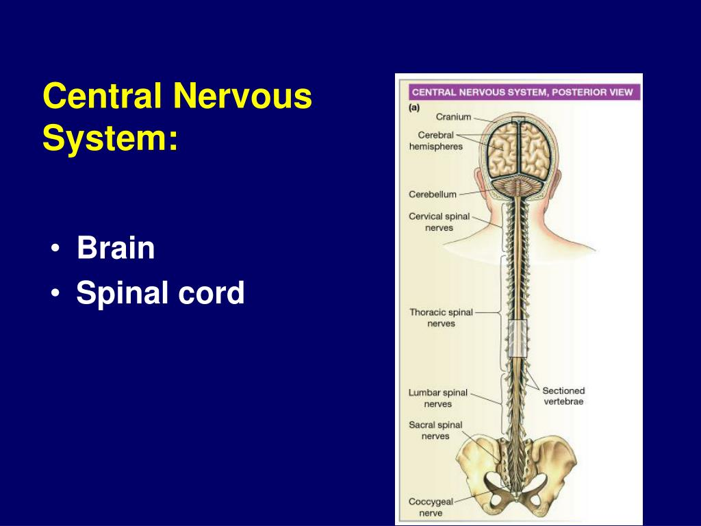 neurophysiology of nerve impulses Inhibitory impulses are also transmitted to their antagonists.