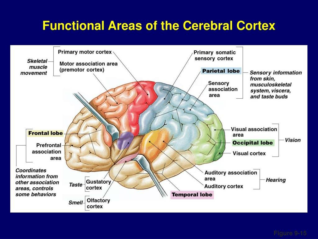 Neurophysiology PowerPoint Presentation