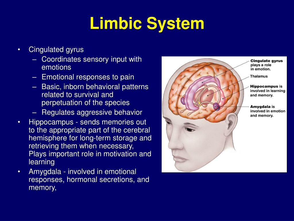 PPT - Neurophysiology PowerPoint Presentation - ID:168209 Limbic System Emotion