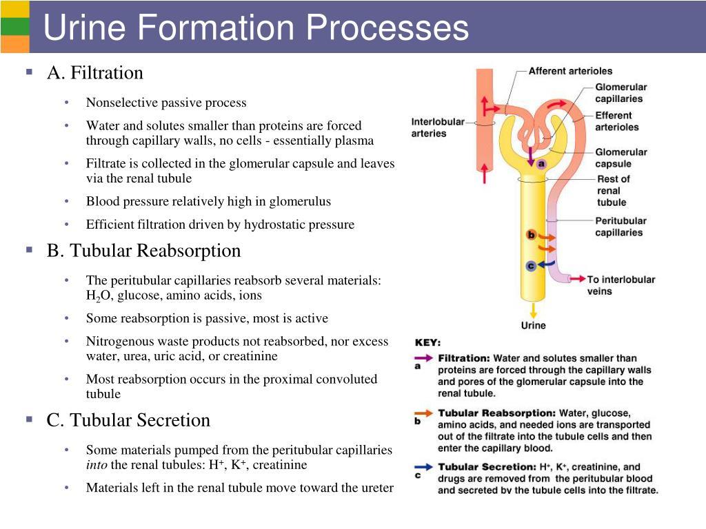 The Urinary System: Nephron & Urine Formation