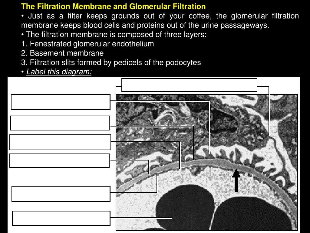 The Filtration Membrane and Glomerular Filtration