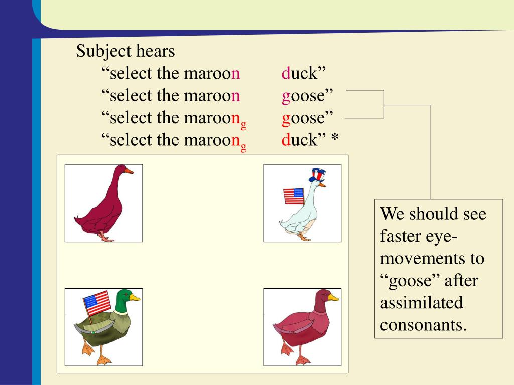 """We should see faster eye-movements to """"goose"""" after assimilated consonants."""