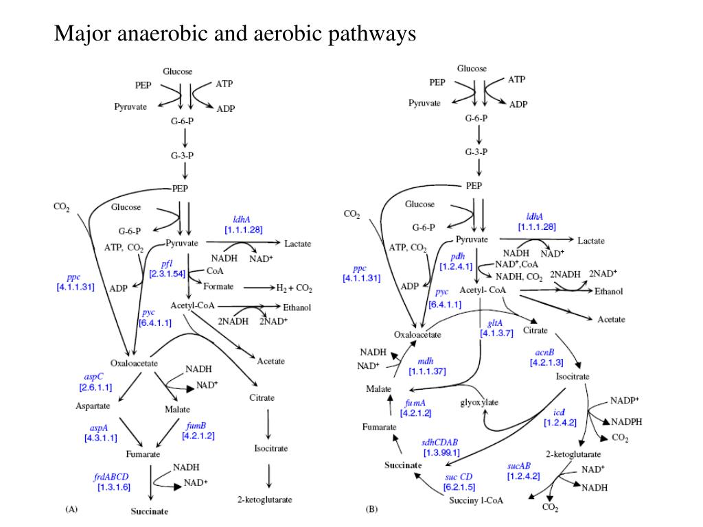 Major anaerobic and aerobic pathways