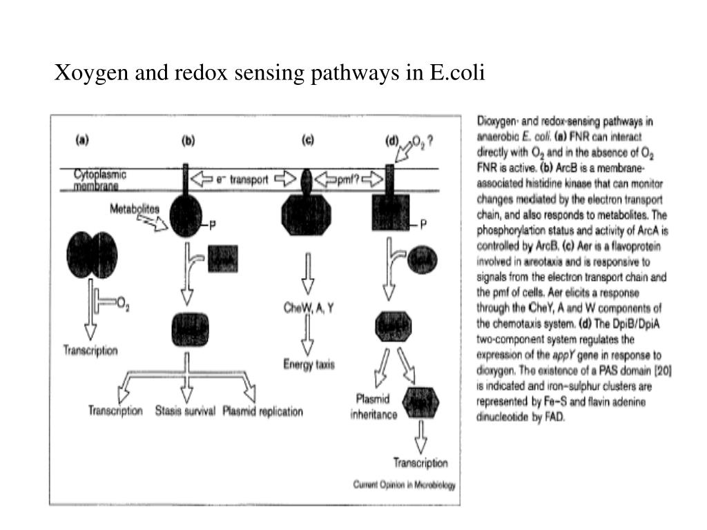 Xoygen and redox sensing pathways in E.coli