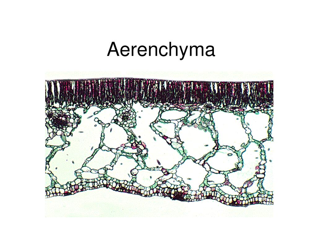 Aerenchyma