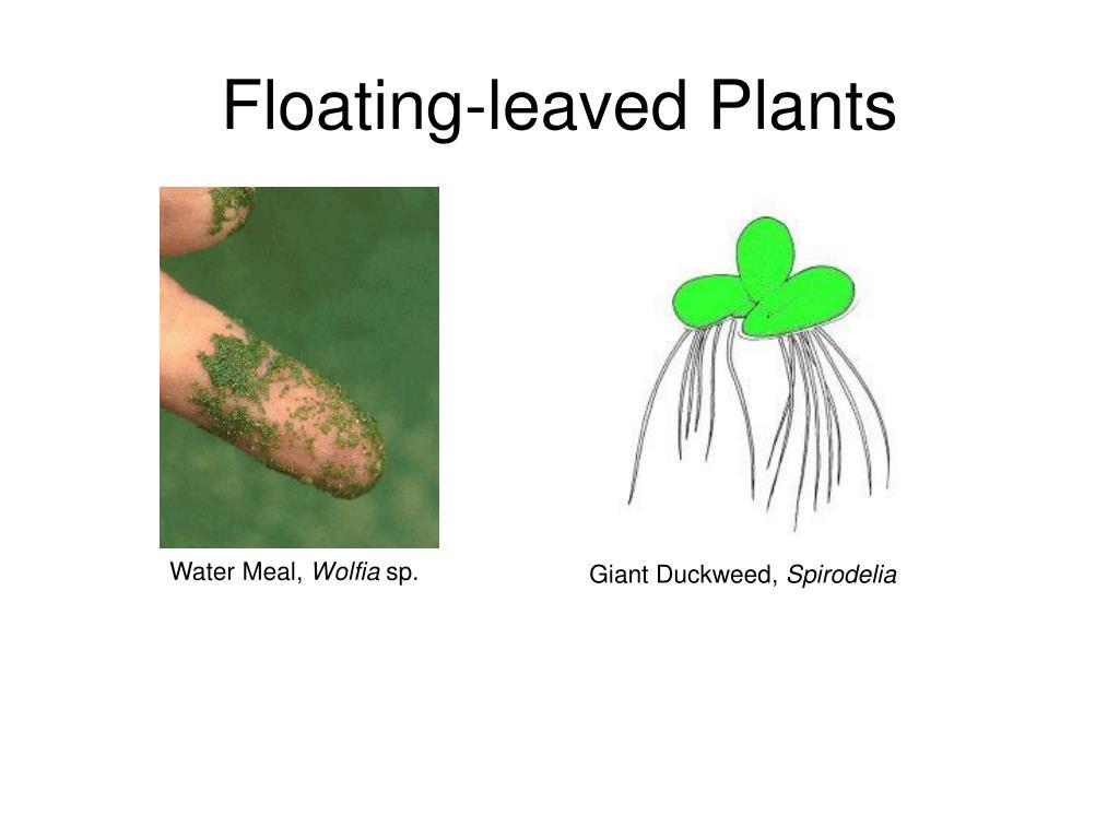 Floating-leaved Plants