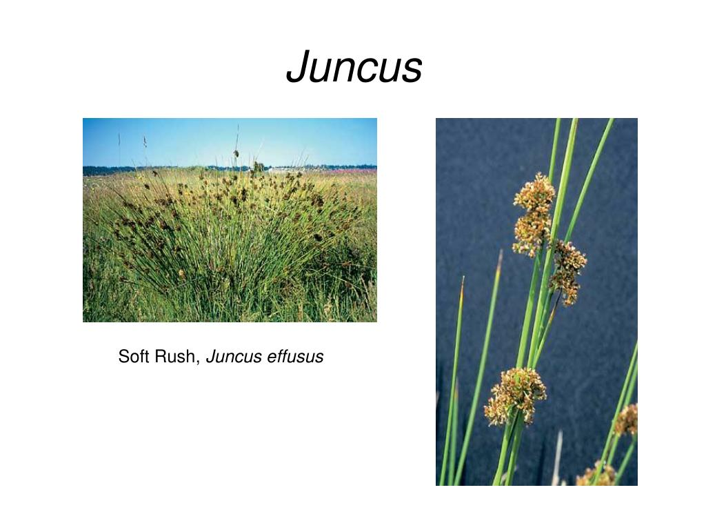 Juncus